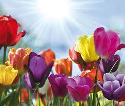 Tulpen in de zon